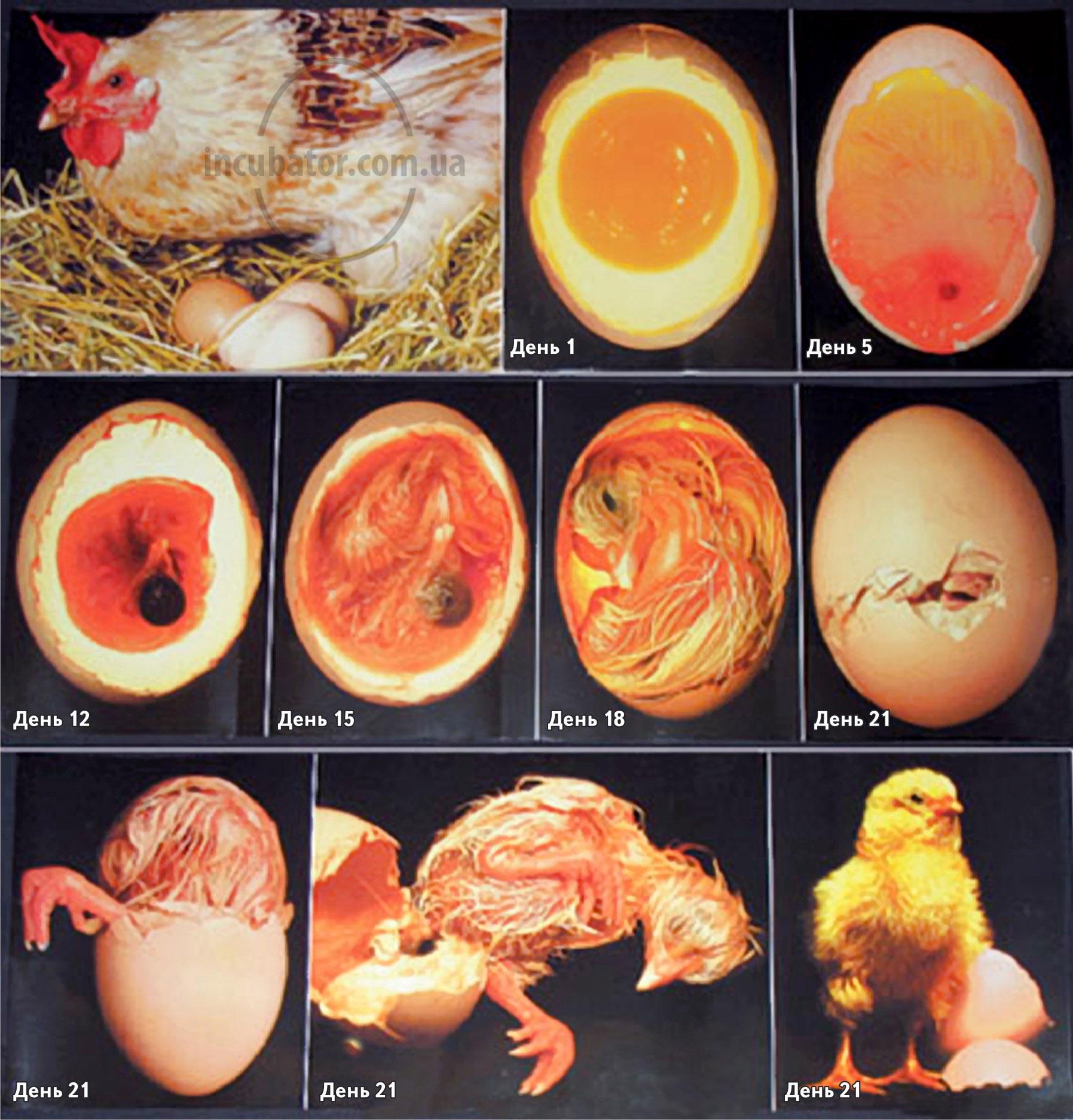 Как вывести цыплят в инкубаторе в домашних условиях 17